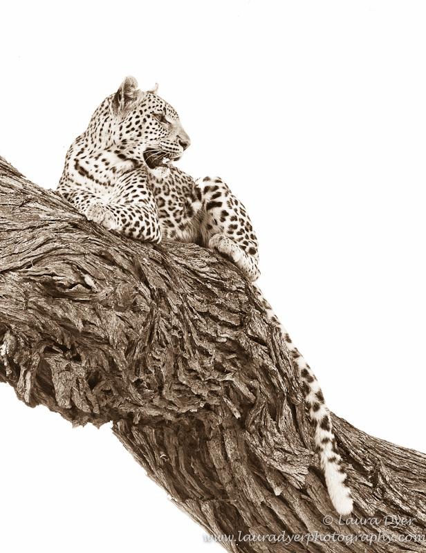 Leopard in a tree in Botswana