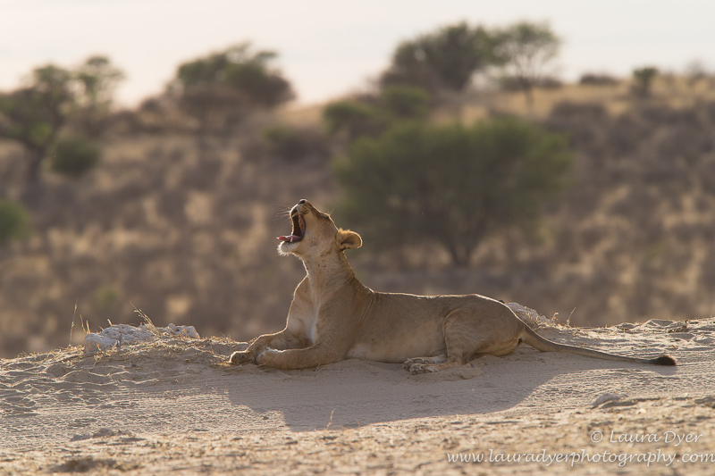 Yawning lioness early morning - Lions