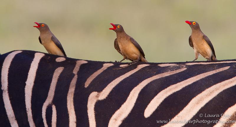Red-Bileld Oxpecker trio on zebra