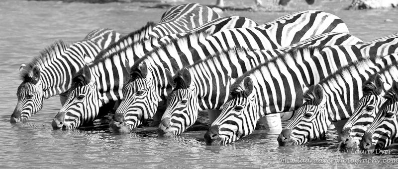 Drinking zebra herd