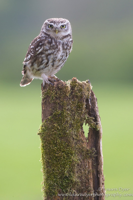 Little Owl Lookout - British Wildlife
