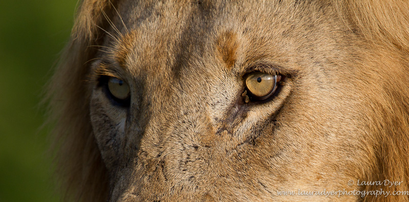 Male lions eyes