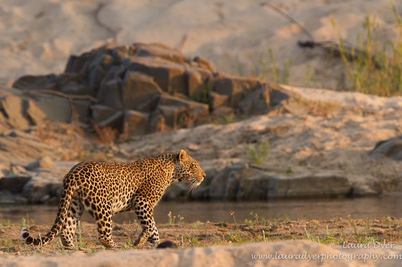 River crossing - Leopards
