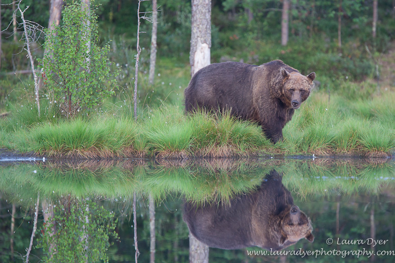 Brown Bear reflected in Taiga Forest
