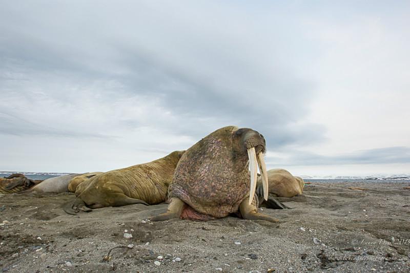 Walrus herd - Svalbard