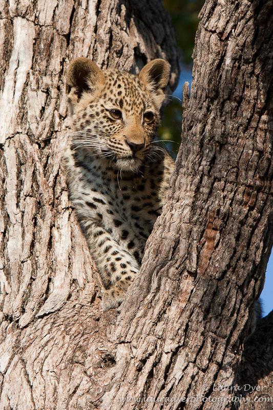 'Tlangisa' as a cub - Leopards