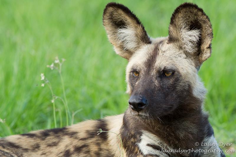 African Wild dog in summer - Other predators