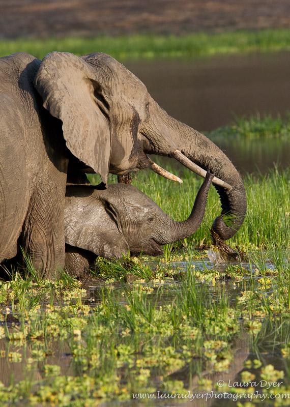 Elephant and calf feeding