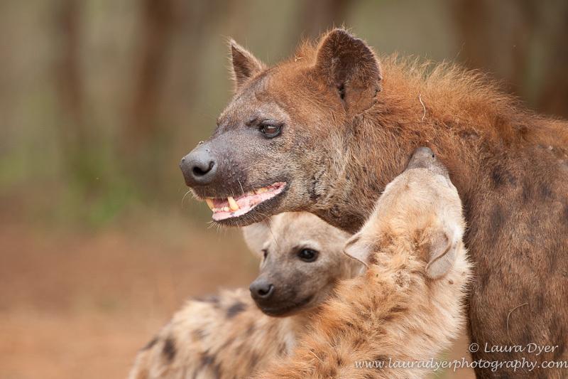 Hyena greeting rituals - Hyena