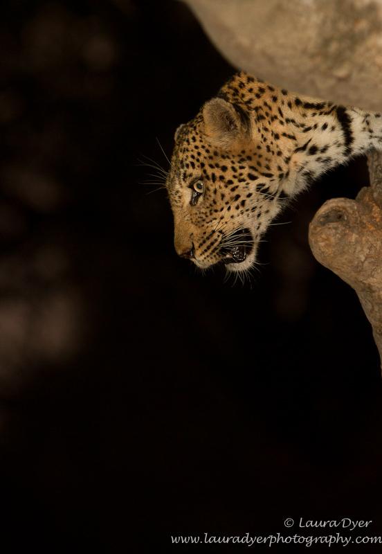 Leopard descent - Leopards
