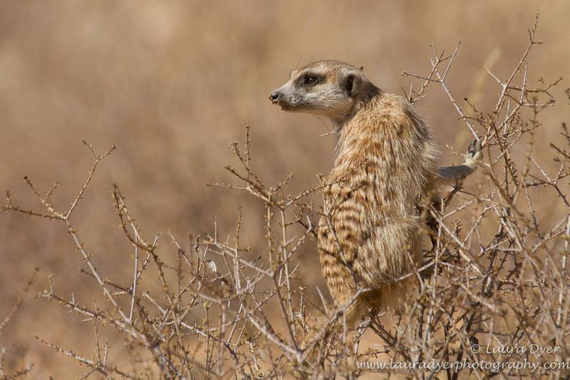 Meerkat lookout on tree