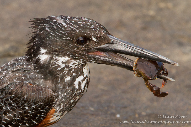 Giant kingfisher with crab - Birds of Africa
