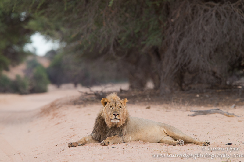 Male lion at dawn - Lions