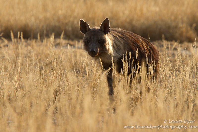 Brown hyena patrol - Hyena