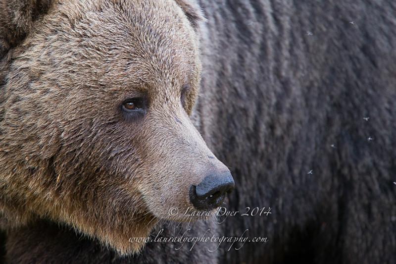 Grizzly portrait - Finland