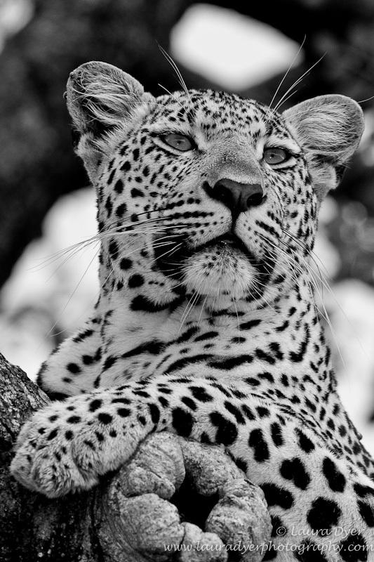 Curious leopard portrait