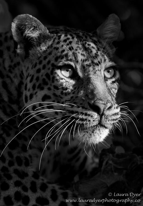 Spotlit leopard