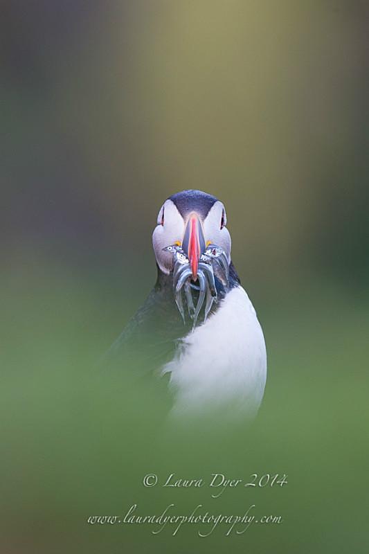 Cheeky faced Puffin - Seabirds