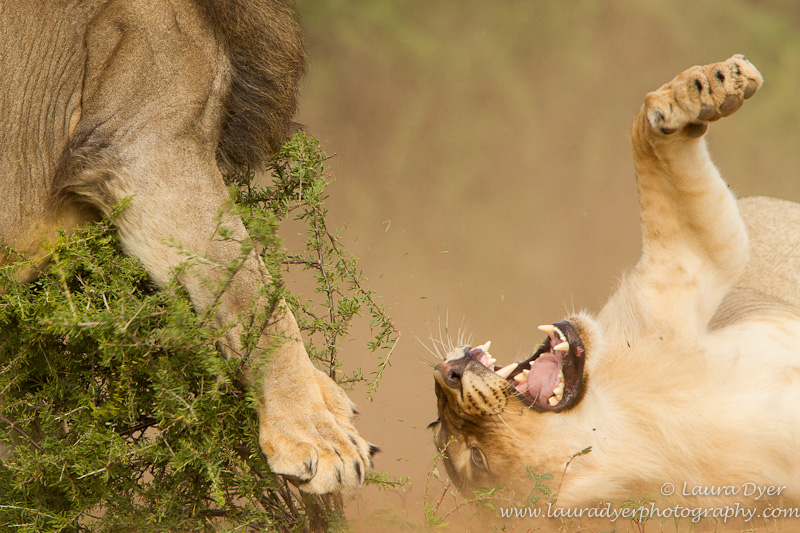 Fighting male lions
