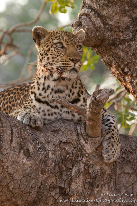 Leopard in sausage tree - Leopards