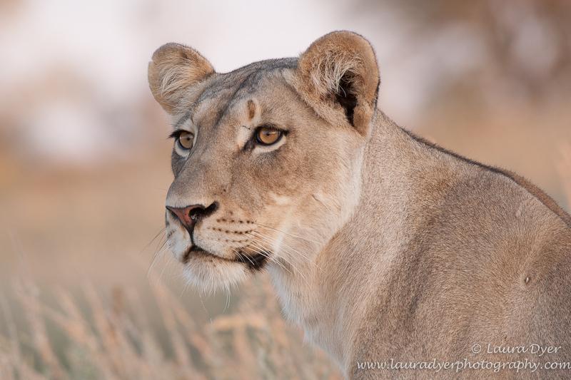 Lioness portrait in Kalahari