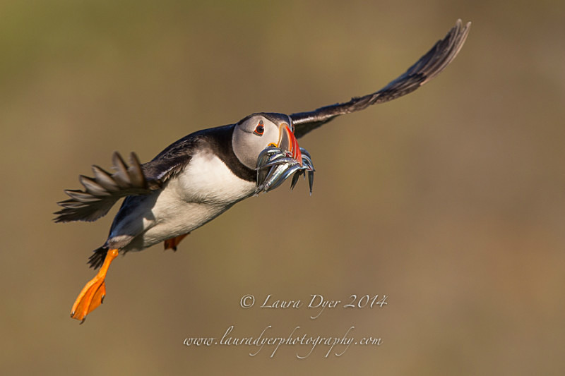 Puffin with sandeels in flight - Seabirds