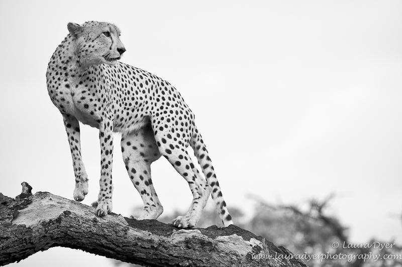 Cheetah on a dead tree
