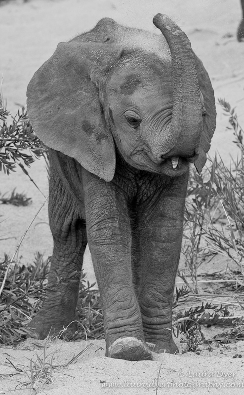 Baby elephant throwing sand