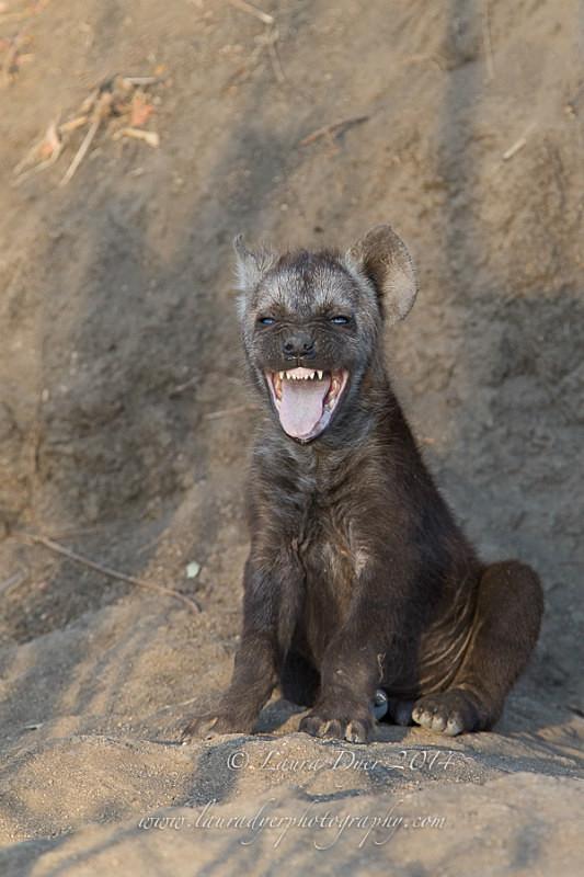 Hello there... - Hyena
