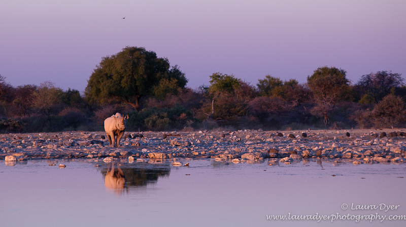 Black rhino in environment at sunset