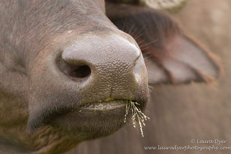 Buffalo nose portrait