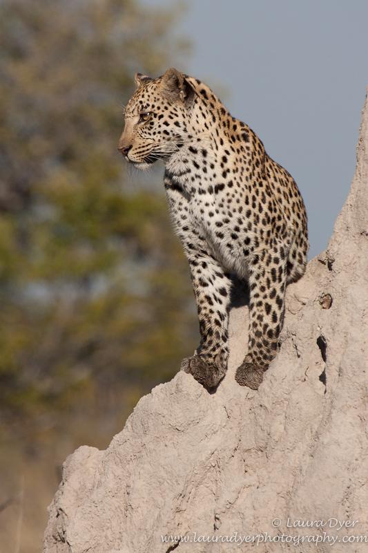 Leopard Vantage Point - Leopards