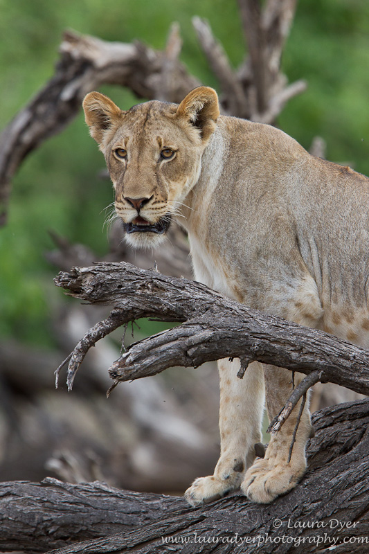 Lioness sitting on a dead tree branch