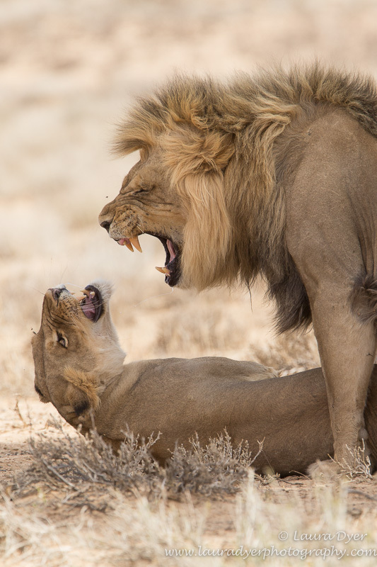 Stop shouting! - Lions