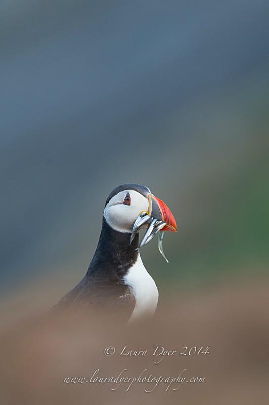 Sandeels at dawn - Seabirds