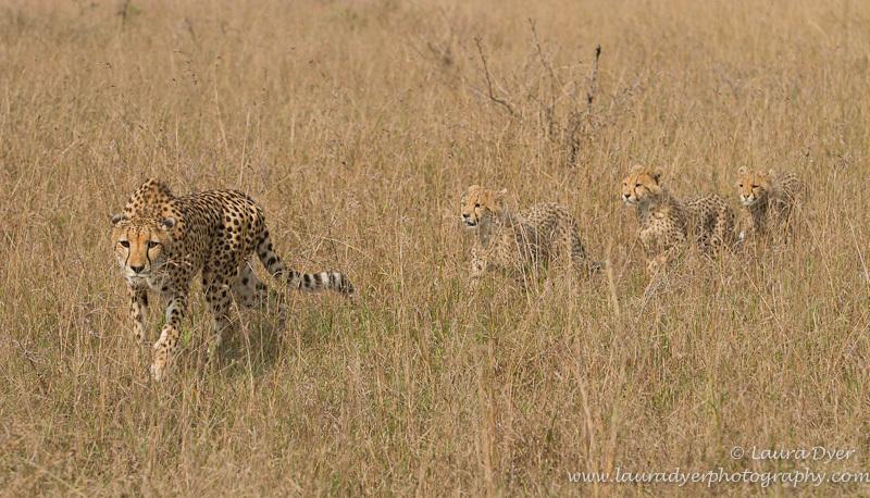 Cheetah and cubs - Cheetah