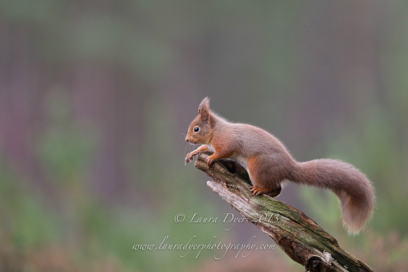 Red squirrel - British Wildlife
