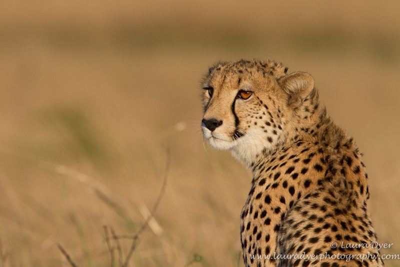 Cheetah on the marsh - Cheetah