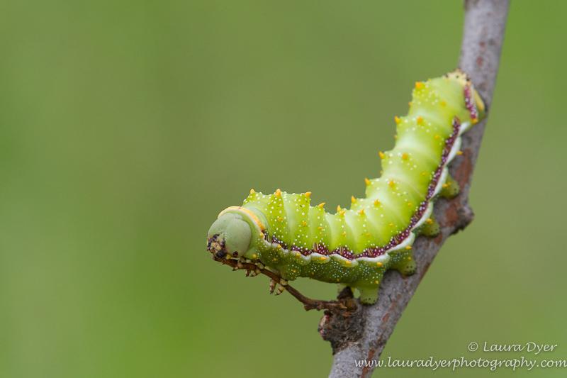 Mopani worm on branch