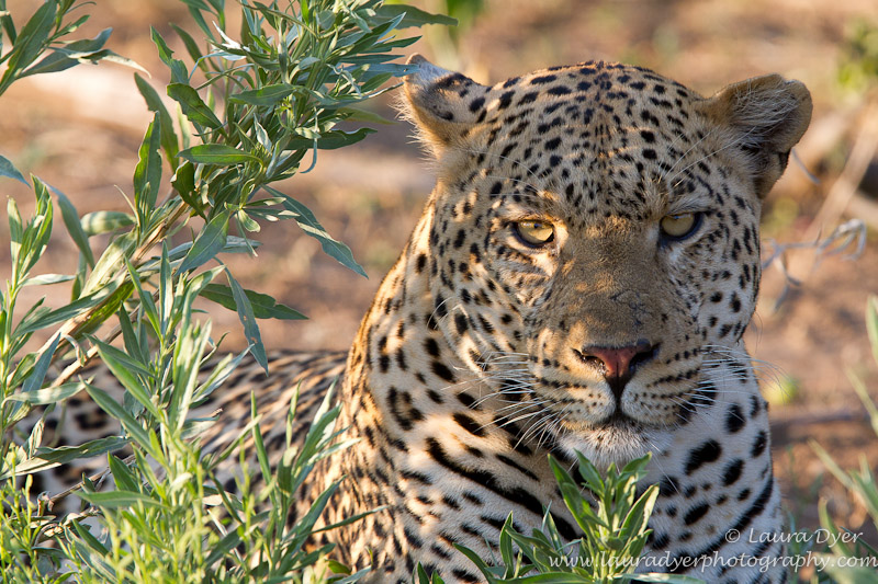 Male leopard portrait at sunset