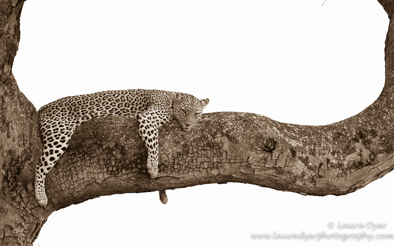 Languid Leopard