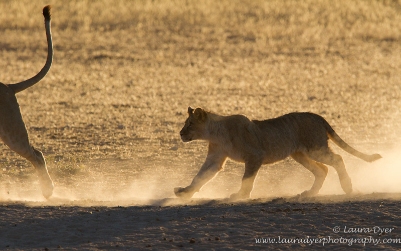 Chasing tails - Lions