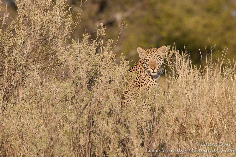Leopard in Delta environment - Leopards