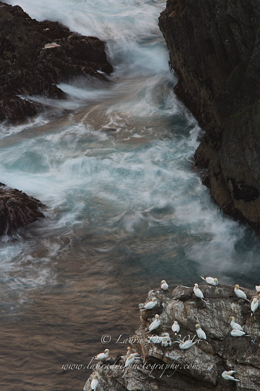 Gannet colony and silky water - British Wildlife