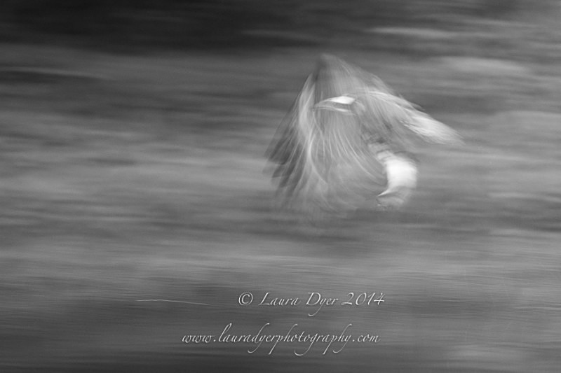 Osprey Poetry in Motion - British Wildlife