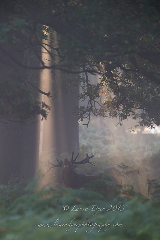 Roaring stag at dawn - British Wildlife