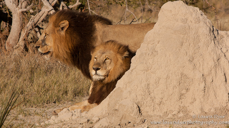 Okavango brothers - Lions