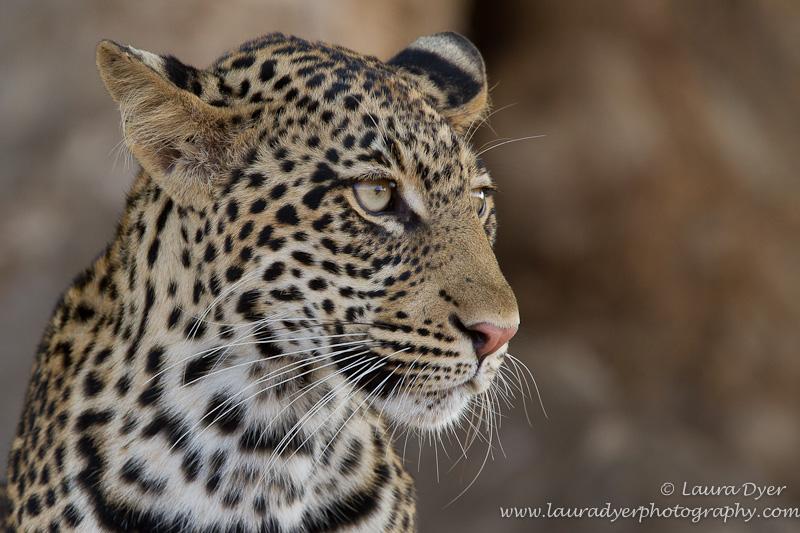Young leopard in a Mashatu tree