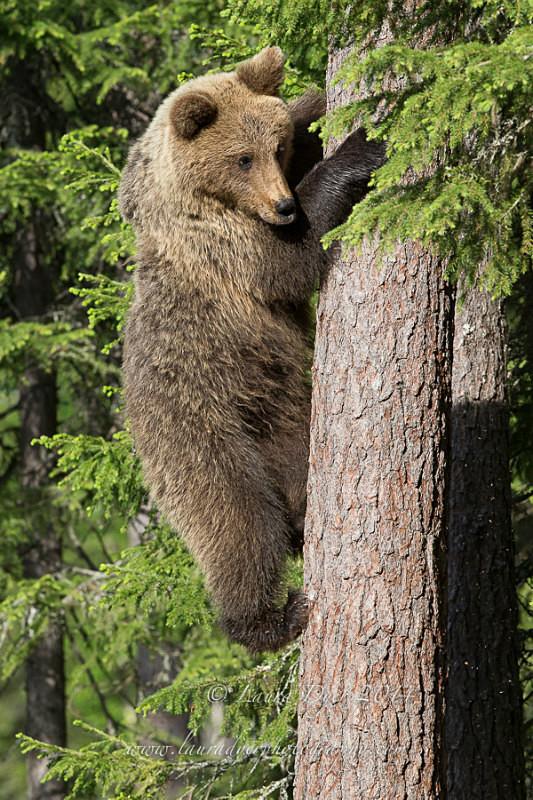 Climbing Cub - Finland