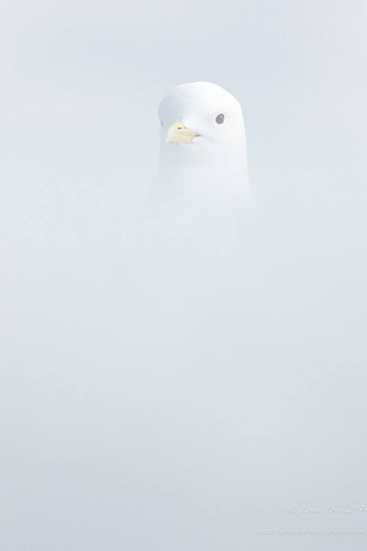 Hidden kittiwake - Svalbard